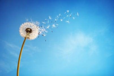 Paardebloem - pollen web